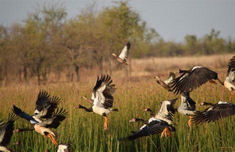 Magpie Goose Karumba Point Sunset Caravan Park Wildlife